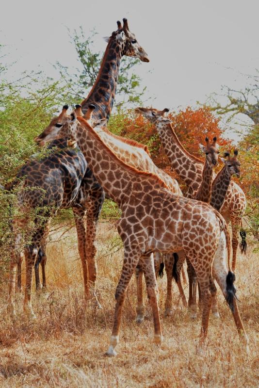 Zsiráfok a Bandia Vadasparkban, Szenegál.